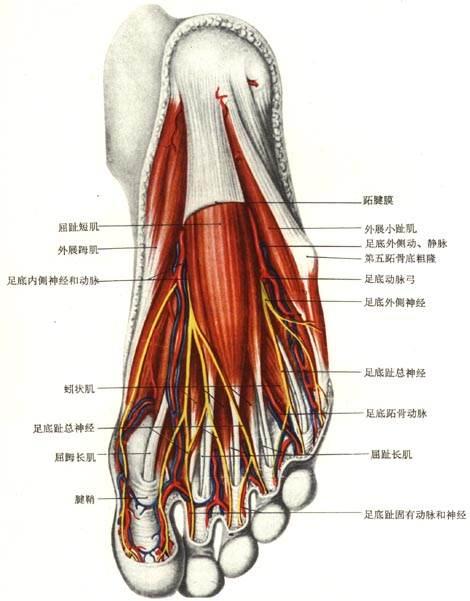 下肢动脉血管解剖图谱