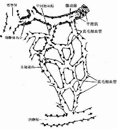 首页 科研教学 专业知识  五,微循环的血管 校对时间: 99-11-24 9:12图片