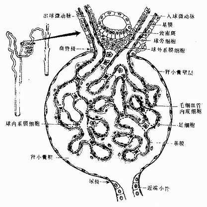 肾小体红蓝手绘图