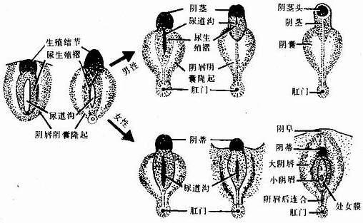 五岁宝宝生殖器标准_1.未分化期 人胚第9周前,外生殖器不能分辨性别.